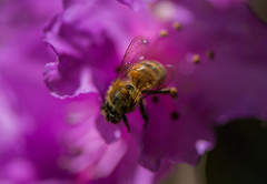 Bee on azalea flower